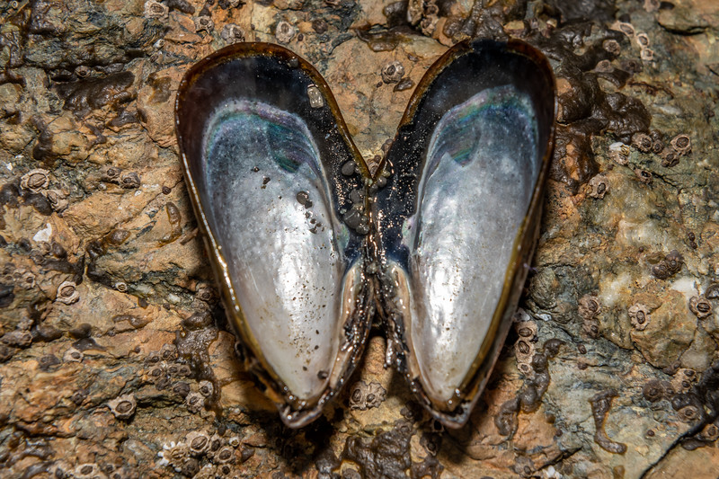California mussel (Mytilus californianus). Palmer's Beach, Patricks Point State Park, CA, USA.