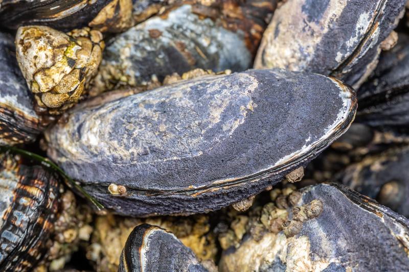 California mussel (Mytilus californianus). Palmer's Beach, Patricks Point State Park, CA, USA.
