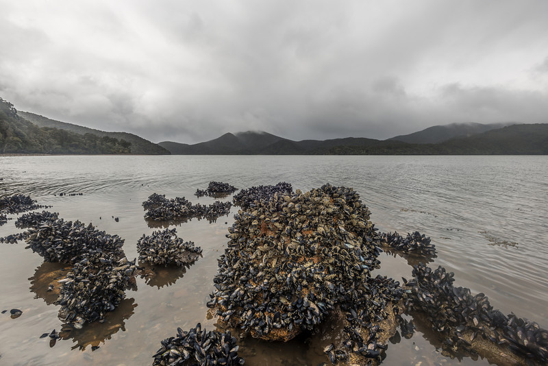Tasmanian blue mussel (Mytilus planulatus), Paterson Inlet South West Arm / Whaka a Te Wera.