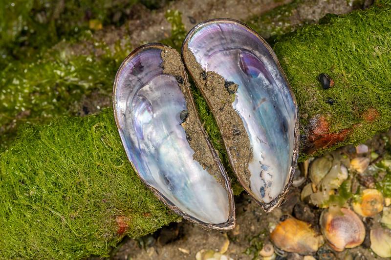 New Zealand green-lipped mussel (Perna canaliculus). Waikouaiti River estuary, Karitane, Otago.