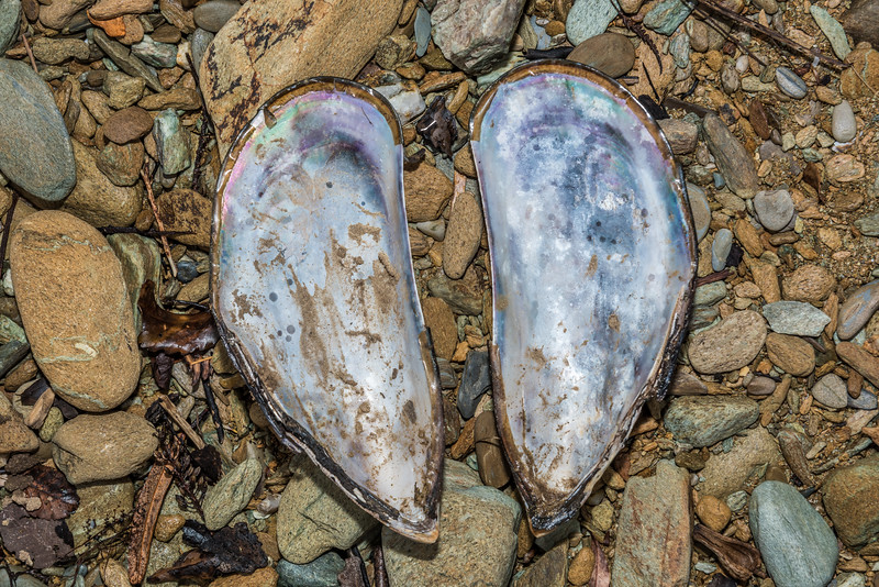 New Zealand green-lipped mussel (Perna canaliculus). Ship Cove, Queen Charlotte Sound.