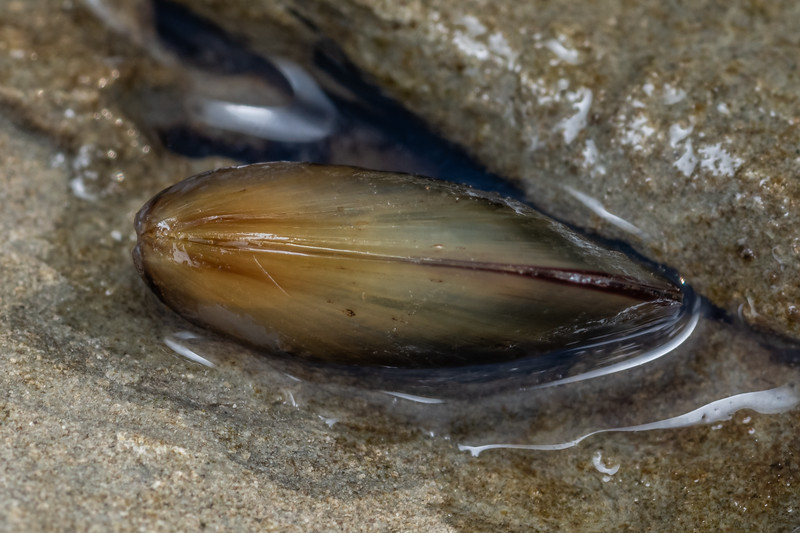 New Zealand green-lipped mussel (Perna canaliculus). Point Kean, Kaikōura.