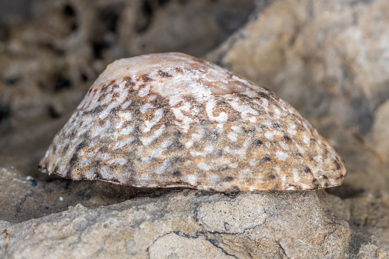 Limpet (Cellana denticulata). Point Kean, Kaikōura.