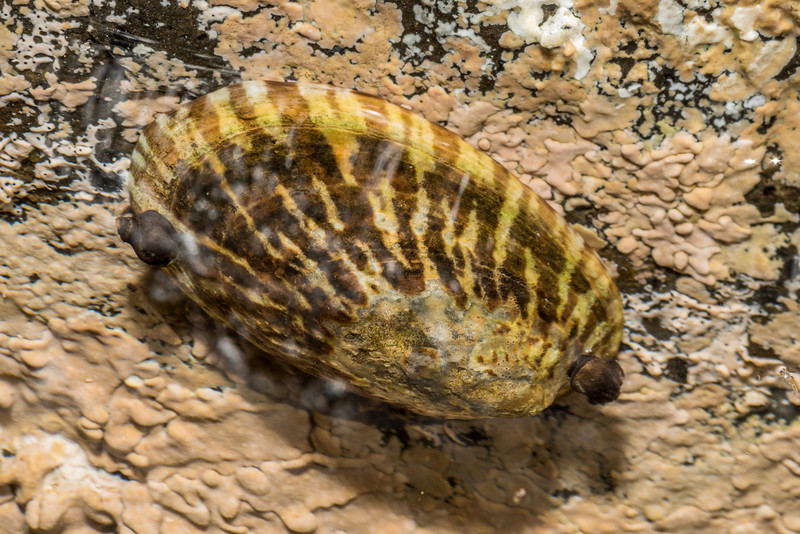 Limpet (Cellana oliveri). Green Point, Chatham Island.