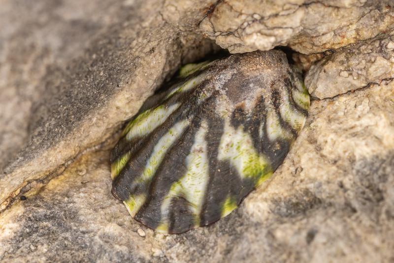 Radiate limpet (Cellana radians). Huriawa Peninsula, Karitane.