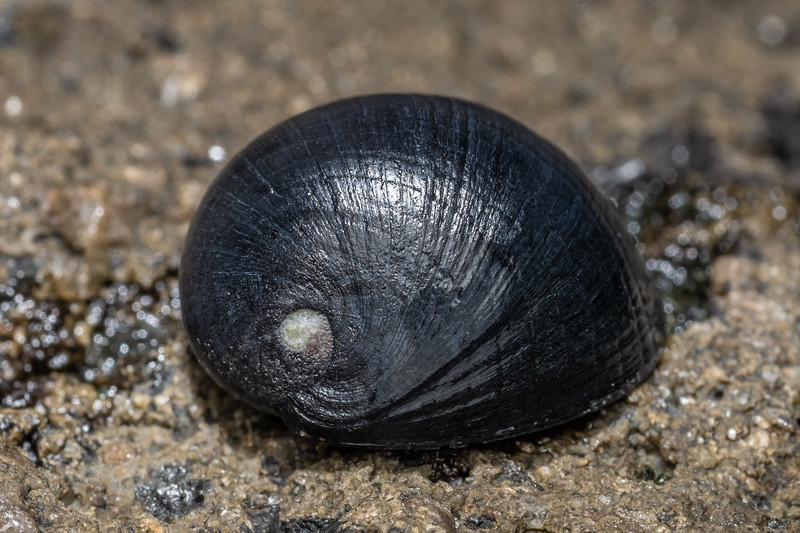 Nerite snail (Nerita melanotragus). Peach Cove, Whangarei Heads, Northland.