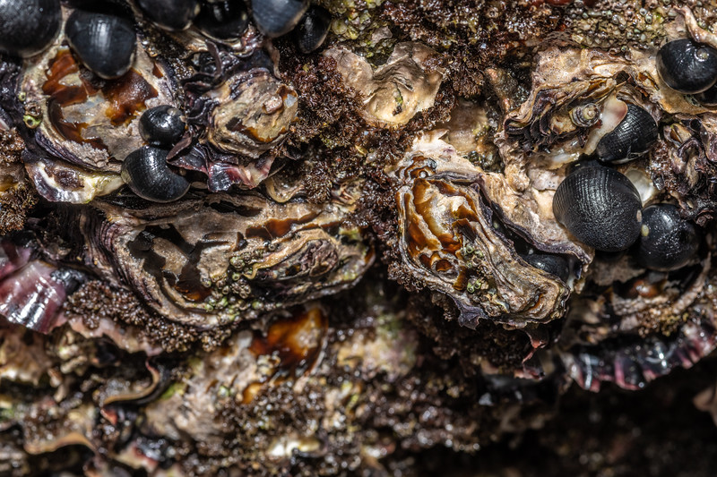 New Zealand rock oyster (Saccostrea glomerata). <br /> Peach Cove, Whangarei Heads, Northland.
