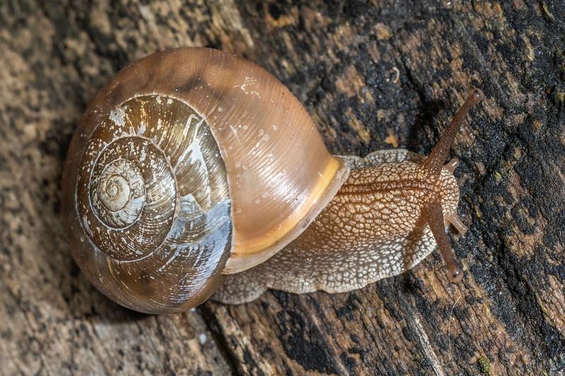 Whitelip (Neohelix albolabris). Wild River State Park, MN, USA.