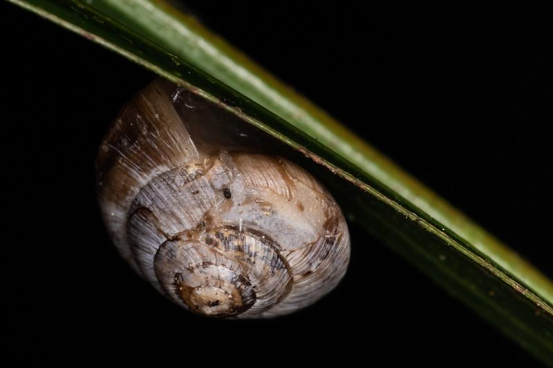 Dot snail (Family Punctidae). Marokopa Falls Track, Waikato.