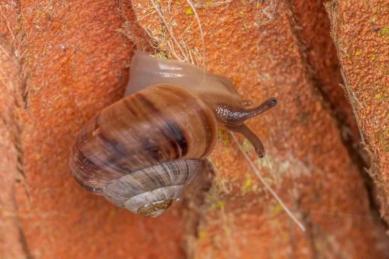 Dot snail (Punctidae). Waipu Caves Track, Northland.