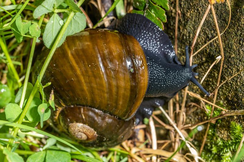 Kauri snail (Paryphanta busbyi). Waipu Caves Track, Northland.