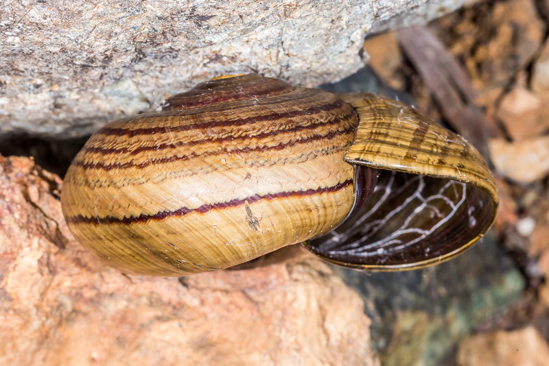 Powelliphanta hochstetteri consobrina. United Creek, Nelson.