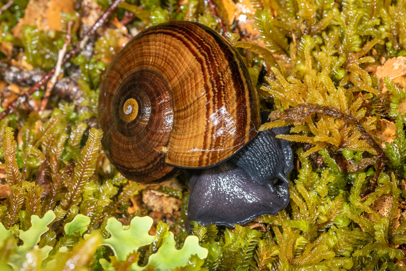 Powelliphanta hochstetteri ssp. bicolor. Mount Stokes, Marlborough Sounds.