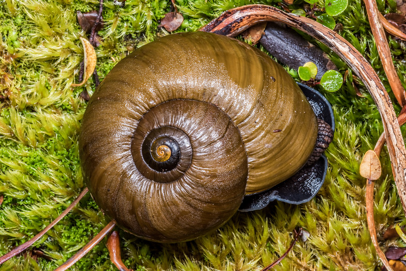 Carnivorous land snail (Powelliphanta superba). Perry Saddle, Kahurangi National Park.