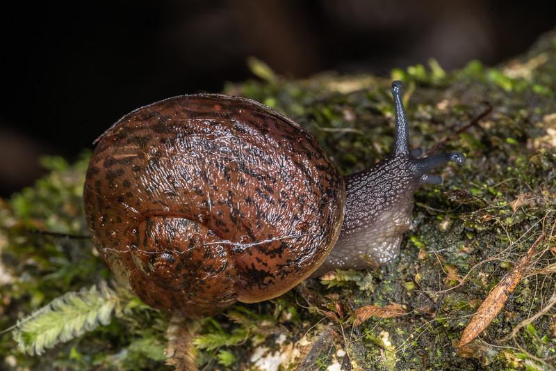Predatory land snail (Rhytida greenwoodi). Waterworks Walk, Ngaruawahia.