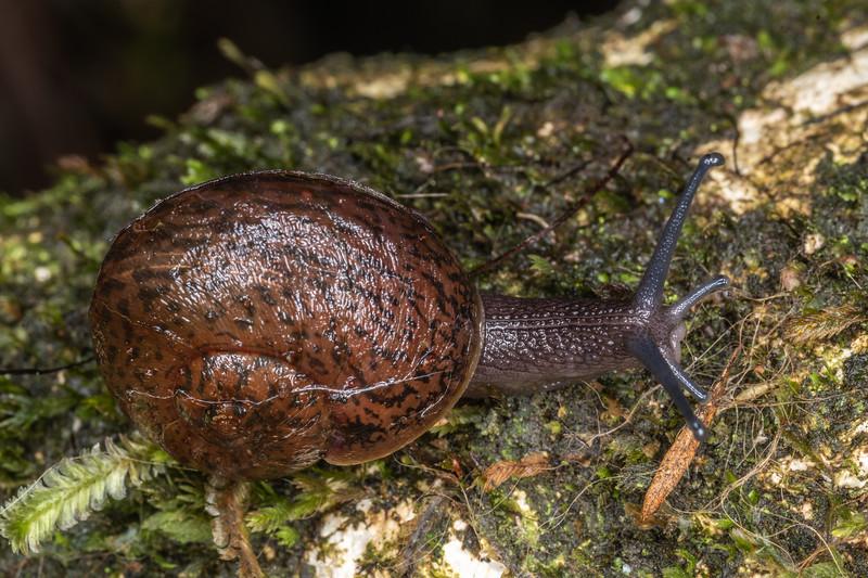 Predatory land snail (Rhytida spp.). Waterworks Walk, Ngaruawahia.