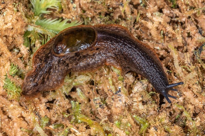 Paua slug (Schizoglossa novoseelandica). Patea Loop Track, Taranaki.