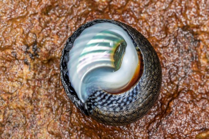 Spotted top snail (Diloma aethiops). Huriawa Peninsula, Karitane.