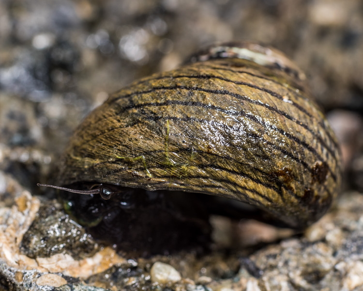 Spotted top snail (Diloma aethiops). Port Craig, Fiordland National Park