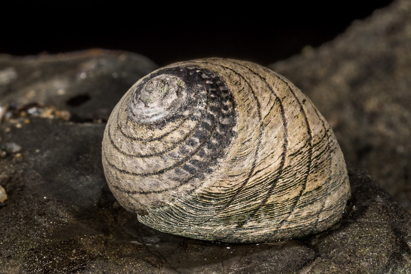 Spotted top snail (Diloma aethiops). Smoothwater Bay, South Westland.