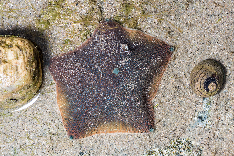New Zealand common cushion star (Patiriella regularis) and spotted top snail (Diloma aethiops). Port Craig, Fiordland National Park.