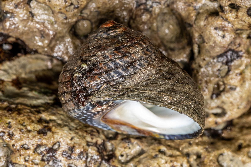 Spotted top snail (Diloma aethiops). Point Kean, Kaikōura.