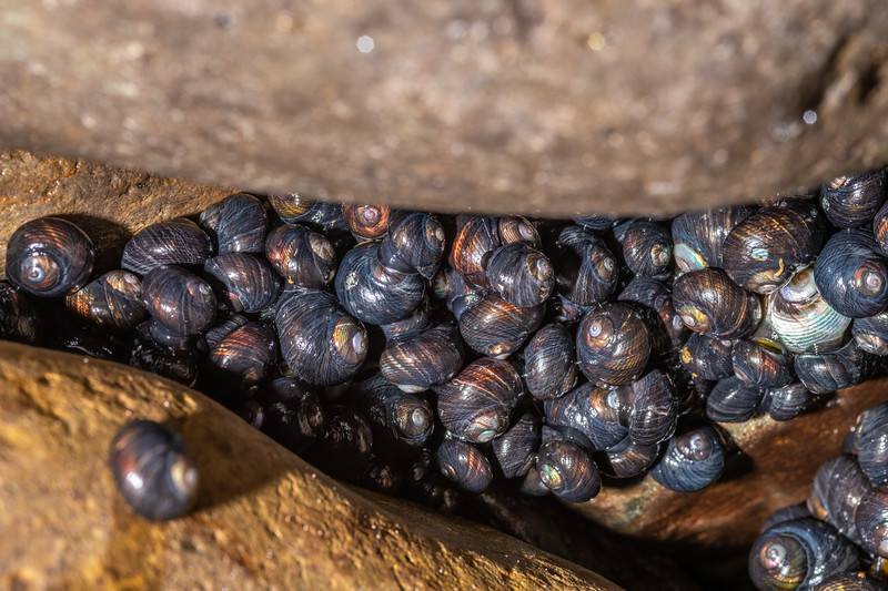 Bluish top shell / maihi (Diloma nigerrima). Huriawa Peninsula, Karitane, Otago.