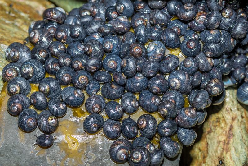 Bluish top shell / maihi (Diloma nigerrima). Taieri Island / Moturata.