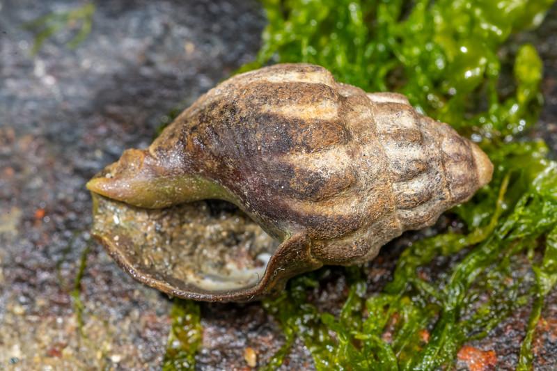 Mud whelk (Cominella glandiformis). Waikouaiti River estuary, Karitane, Otago.