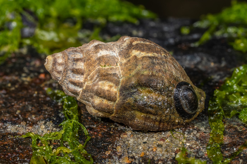 Notoacmea scapha on mud whelk (Cominella glandiformis). Waikouaiti River estuary, Karitane, Otago.