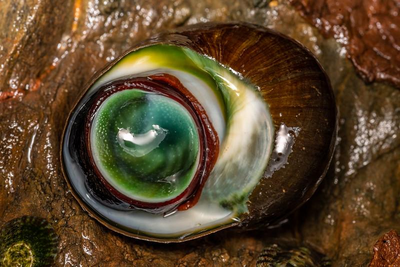 Cat's eye snail (Lunella smaragdus). Huriawa Peninsula, Karitane, Otago.