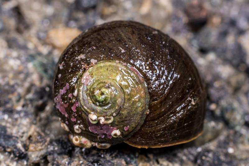 Cat's eye snail (Lunella smaragdus). Port Craig, Fiordland National Park.