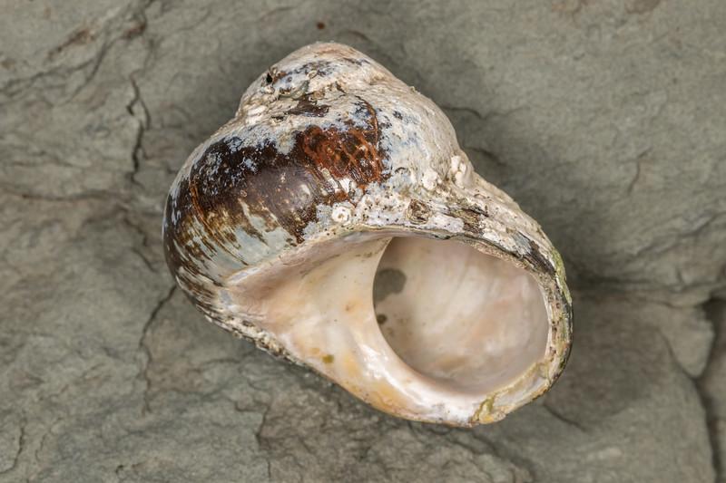Cat's eye snail (Lunella smaragdus). Point Kean, Kaikōura.