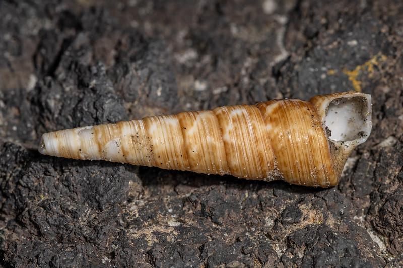 Turret shell (Maoricolpus roseus). Aramoana Beach, Duneidn.
