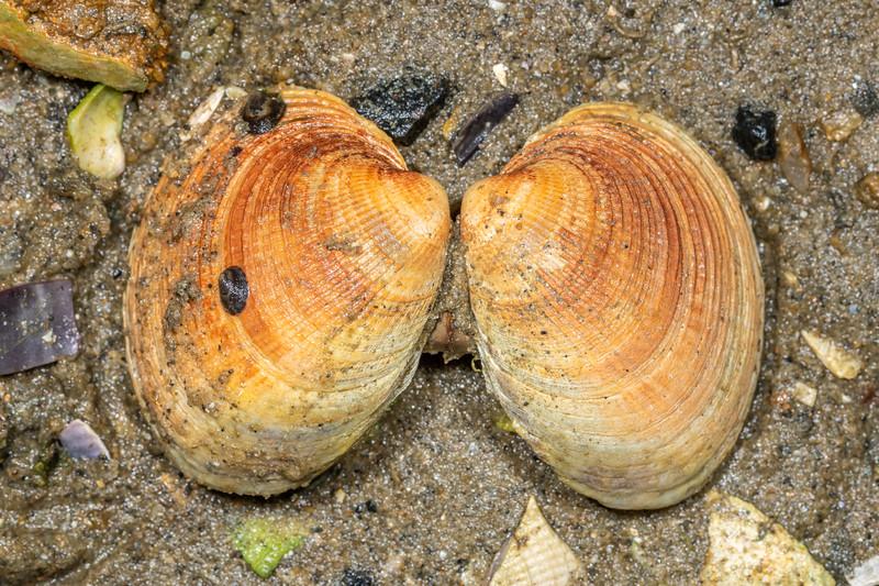 Notoacmea scapha on New Zealand cockle (Austrovenus stutchburyi). Waikouaiti River estuary, Karitane, Otago.