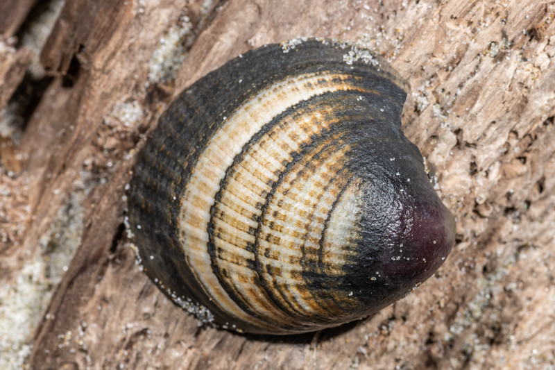 New Zealand cockle (Austrovenus stutchburyi). Victory Beach, Otago Peninsula.
