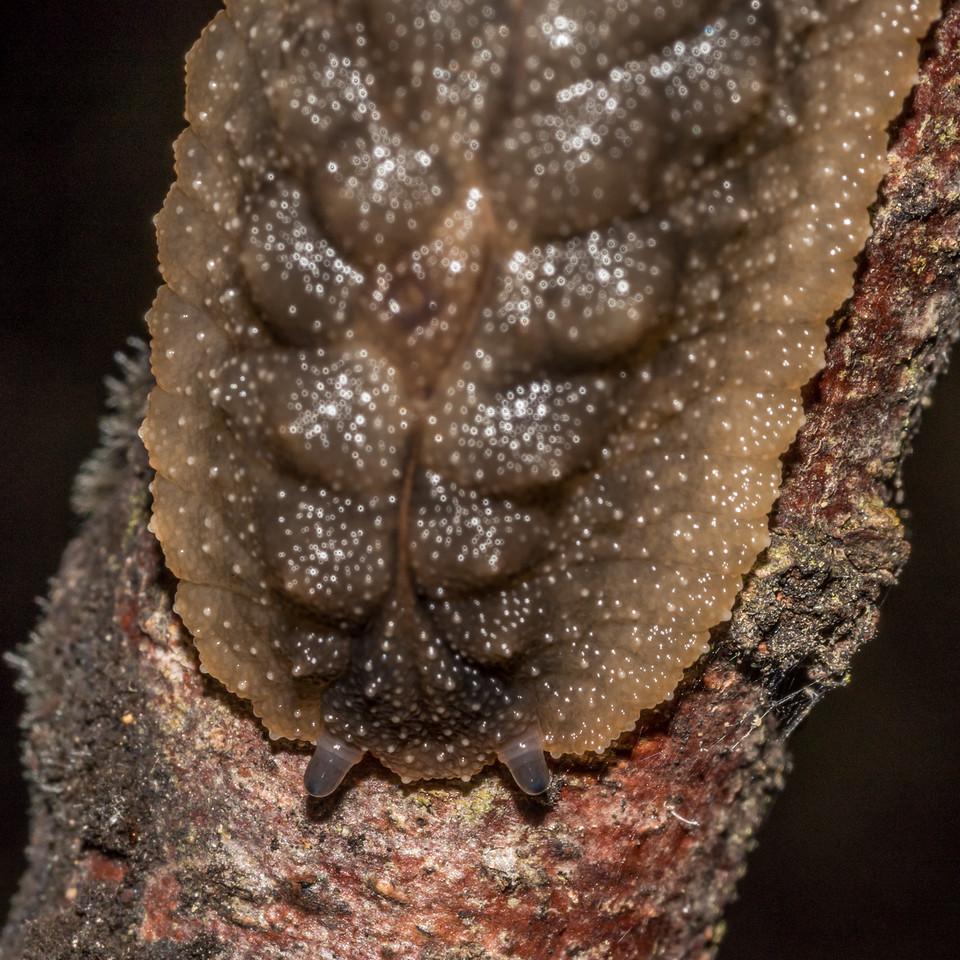 Leaf-veined slug (Pseudaneitea spp., probably Pseudaneitea pseudophyllum). Sharplin Falls, Mount Somers.