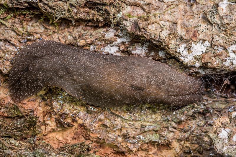 Leaf-veined slug (Pseudaneitea spp.). Thisbe Hut, Catlins Forest.