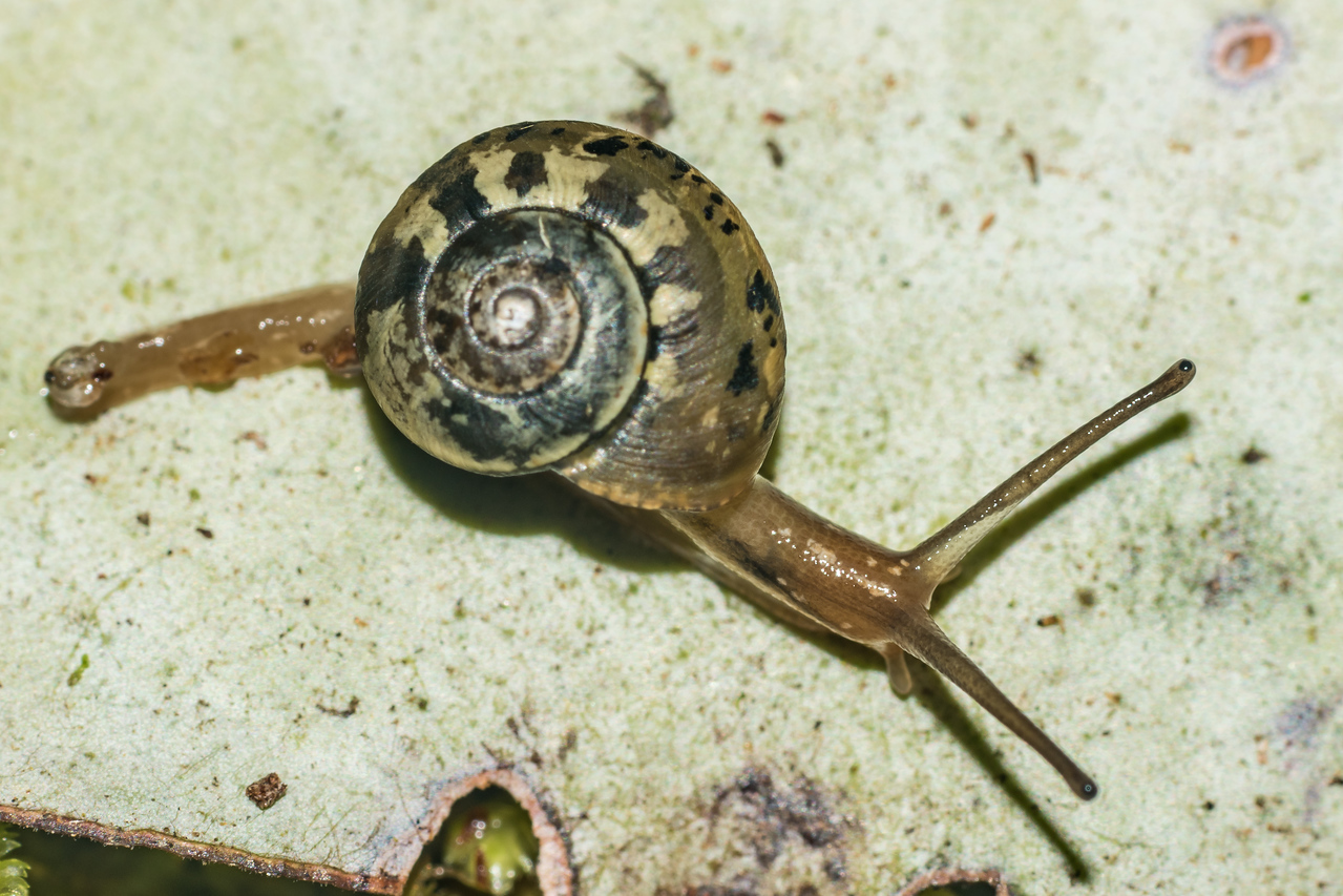 Snail (Family Charopidae) on pepper tree leaf (Pseudowintera colorata). Big River East Branch, Fiordland National Park.