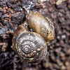 Land snail (Family Charopidae). Port Craig, Fiordland National Park.