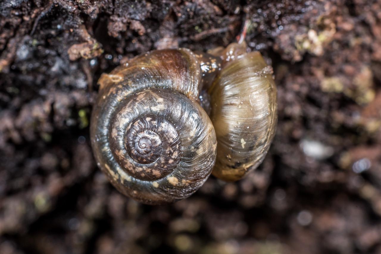 Land snail (Family Charopidae). Port Craig, Fiordland National Park.