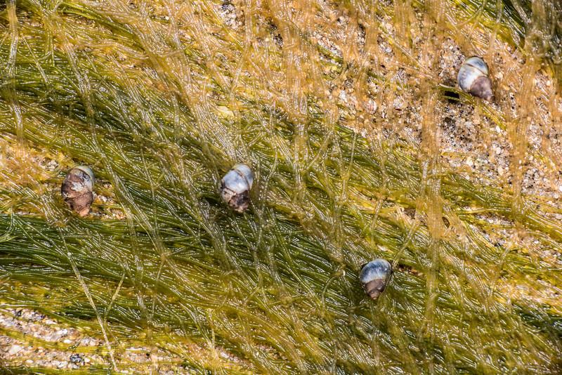 Blue-banded periwinkle (Austrolittorina antipoda). Port Craig, Fiordland National Park.
