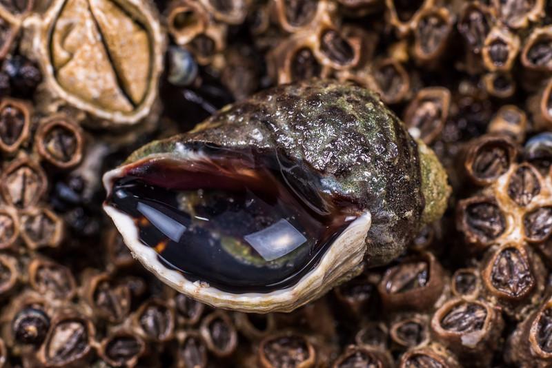 Oyster borer (Haustrum scobina) and brown barnacles (Chamaesipho brunnea). Port Craig, Fiordland National Park.