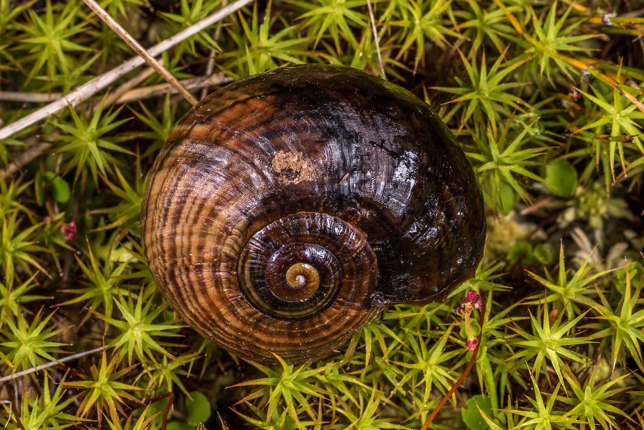 Carnivorous land snail (Powelliphanta gilliesi jamesoni). Gouland Downs Hut, Kahurangi National Park.