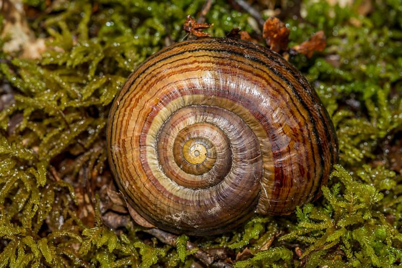 Powelliphanta hochstetteri, subspecies hochstetteri. Evans Ridge, Abel Tasman Inland Track.