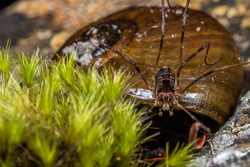 Harvestman (Forsteropsalis inconstans) female that has made its home in an empty Powelliphanta superba shell. Perry Saddle, Heaphy Track, Kahurangi National Park.