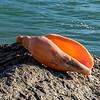 Arabic volute (Alcithoe arabica). Murdering Beach / Whareakeake