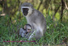 Vervet monkey with baby.