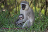Vervet monkey holding baby close up.