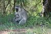 Vervet monkey holding baby.